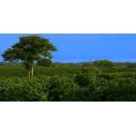 Кофе ARABICA 100% (Brazilia) зелёный 250 гр.