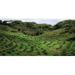 Кофе ARABICA 100% (Ethiopia) зелёный 250 гр.